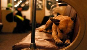 Moscow's Wild Dogs Ride Subways To City Center In Search Of Food