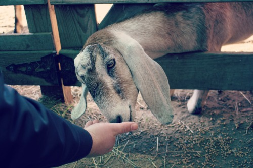 Feeding Goats / Support Your Local Farmer from The Siren's Tale