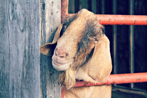 My New Goat Best Friend / Support Your Local Farmer from The Siren's Tale