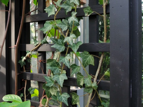 Ivy on Trellis / from TheSirensTale.com