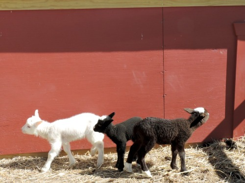 Spring Lambs / from TheSirensTale.com