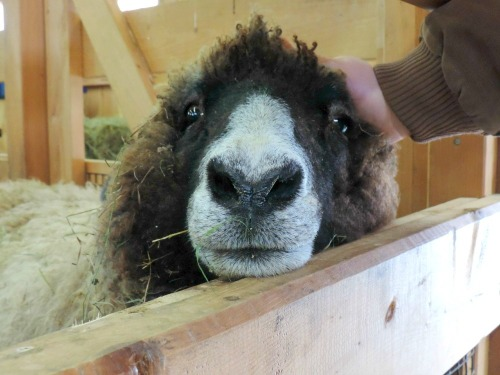 Adorable Sheep Face / from TheSirensTale.com