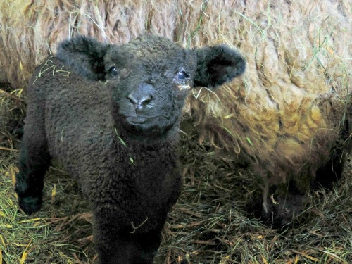 Baby Lamb / from TheSirensTale.com