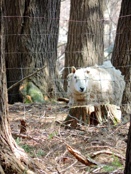 Sheep Peeking / from TheSirensTale.com