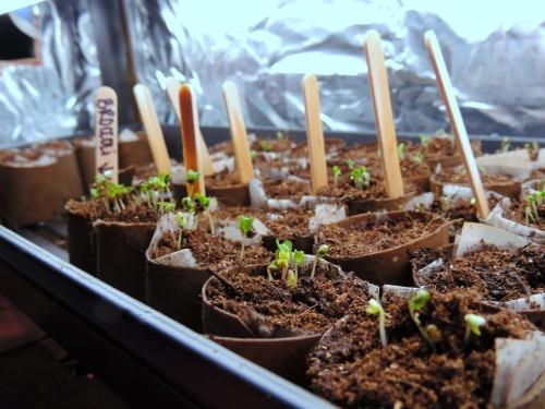 Growing Seedlings / from TheSirensTale.com