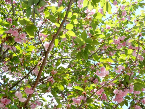 Pink Flowering Tree in Bloom / from TheSirensTale.com