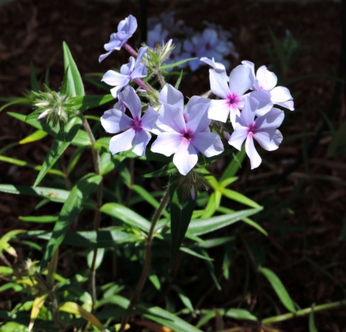 Phlox Flowers / from TheSirensTale.com